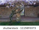 tree of wisteria in the garden... | Shutterstock . vector #1115893373