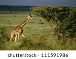 Giraffe, Nairobi National Park, Kenya - stock photo