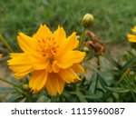 charming and beautiful yellow...   Shutterstock . vector #1115960087