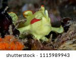 juvenile clown frogfish... | Shutterstock . vector #1115989943