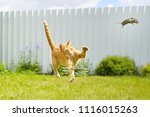 Funny Ginger Cat Catches Mouse...