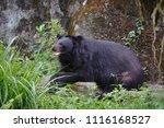 formosan black bear  ursus...   Shutterstock . vector #1116168527