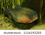 red bellied piranha  red... | Shutterstock . vector #1116192203