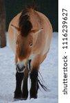 przewalski's horse or...   Shutterstock . vector #1116239627