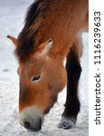 przewalski's horse or...   Shutterstock . vector #1116239633