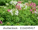 colorful cosmos flowers with...   Shutterstock . vector #1116245417