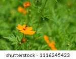 colorful cosmos flowers with...   Shutterstock . vector #1116245423