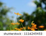colorful cosmos flowers with...   Shutterstock . vector #1116245453