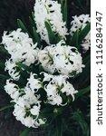 bright white flower hyacinth in ... | Shutterstock . vector #1116284747
