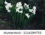 bright white flower hyacinth in ... | Shutterstock . vector #1116284753