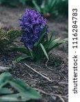 bright white flower hyacinth in ... | Shutterstock . vector #1116284783