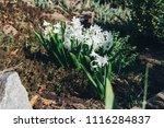 bright white flower hyacinth in ... | Shutterstock . vector #1116284837