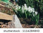 bright white flower hyacinth in ... | Shutterstock . vector #1116284843