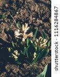 bright white flower hyacinth in ... | Shutterstock . vector #1116284867