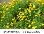 colorful  flowers with  bokeh...   Shutterstock . vector #1116323207