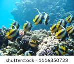 small tropical fish shoal on... | Shutterstock . vector #1116350723