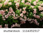colorful cosmos flowers with...   Shutterstock . vector #1116352517