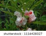 impatiens balsamina fruiting ... | Shutterstock . vector #1116428327