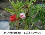 impatiens balsamina fruiting ... | Shutterstock . vector #1116429407