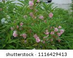 impatiens balsamina fruiting ... | Shutterstock . vector #1116429413