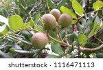 euphoria malaiense or mata...   Shutterstock . vector #1116471113