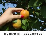 beautiful young woman picking...   Shutterstock . vector #1116559583