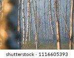 midsummer morning sunrise in... | Shutterstock . vector #1116605393