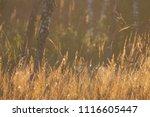 midsummer morning sunrise in... | Shutterstock . vector #1116605447