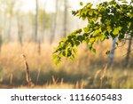 midsummer morning sunrise in... | Shutterstock . vector #1116605483