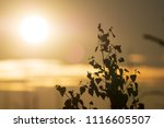 midsummer morning sunrise in... | Shutterstock . vector #1116605507