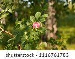 bush flowering rose hips in the ... | Shutterstock . vector #1116761783