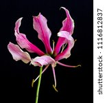 color fine art still life... | Shutterstock . vector #1116812837