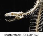 Big Python Skull And Skeleton...