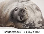 Weddell seal, Antarctica - stock photo