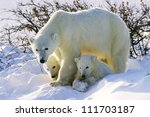 Polar Bear With Her Twin Cubs...