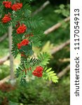 Small photo of red rowan berries