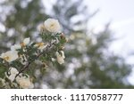 beautiful white wild roses in... | Shutterstock . vector #1117058777