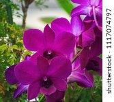pink orchid orchidaceae | Shutterstock . vector #1117074797