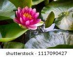the pink nymphaea virginalis in ... | Shutterstock . vector #1117090427