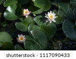 the nymphaea virginalis in the... | Shutterstock . vector #1117090433