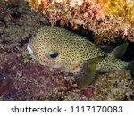 porcupine fish  punta cana | Shutterstock . vector #1117170083