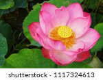 beautiful lotus or lily | Shutterstock . vector #1117324613