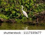 white heron egret  ardea alba ... | Shutterstock . vector #1117335677