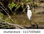 white heron egret  ardea alba ... | Shutterstock . vector #1117335683