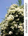 white abundantly flowering...   Shutterstock . vector #1117449317