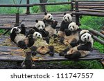 giant panda bears gather for... | Shutterstock . vector #111747557