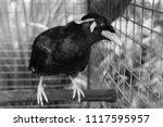 black tropical songbird   black ... | Shutterstock . vector #1117595957