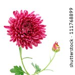 A chrysanthemum daisy - stock photo