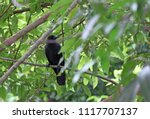 Small photo of Black crow perch on the branch of tree with green leaves background. It is a large perching bird with mostly glossy black plumage, a heavy bill, and a raucous voice.