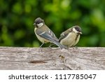 juvenile great tit in nature | Shutterstock . vector #1117785047